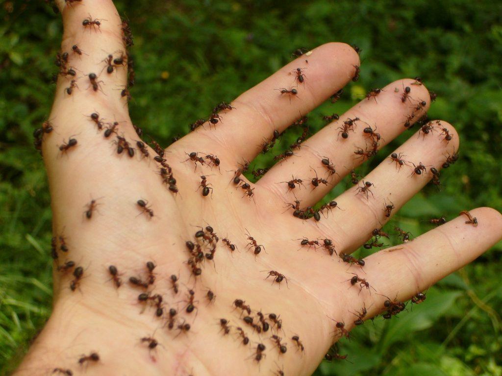 Die argentinische Ameise und ihre Superkolonie auf blog-baron.de